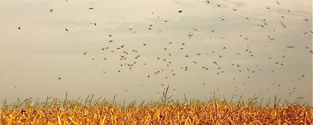 Lots and lots of doves over a field in Argentina