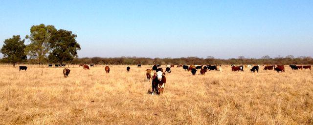 Cattle in the Pasture at Estancia La Criolla