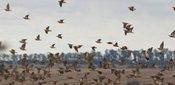 Hunting Perdiz Partridge in Argentina